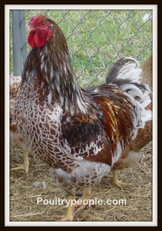 Blue Laced Wyandotte Hen Blue Laced Red Wyandotte s are